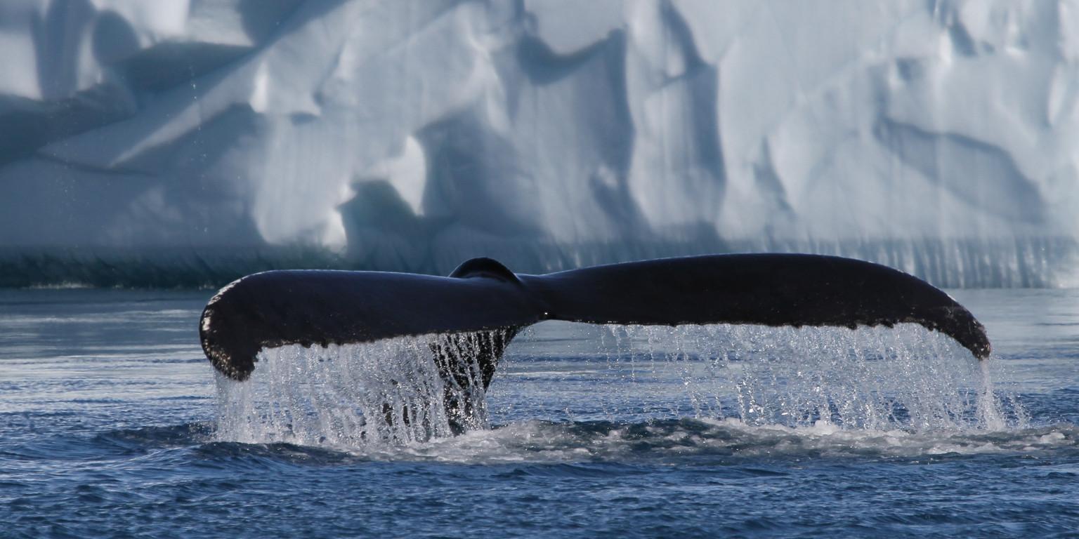 Diskobugten på udkig efter hvaler og isbjerge