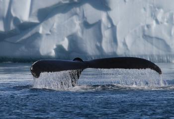 Disko Bay Whale Watching and Icebergs